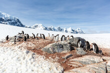 Gentoo Penguins (Pygoscelis Papua), Breeding Colony On Weincke Island, Naumeyer Channel, Antarctica.