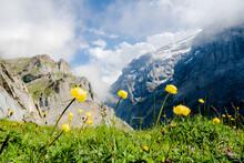Yellow Wildflowers In Bloom During The Hike Towards Muttsee Hut On Kalktrittli Path, Canton Of Glarus, Switzerland, Europe