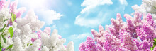 Banner With Blooming White And Pink Lilac Beautiful Soft Sky Clouds Background With Spring Clouds And Glare Of Bright Sun. Ultra Wide Format, Expressive Artistic Image Of Spring Nature, Copy Of Space.