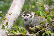 Wild Squirrel Monkey (Saimiri Sciureus), In The Gardens Of Bonnet House (the Bartlett Estate), Fort Lauderdale, Florida, United States Of America, North America