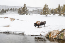 Snow Covered Bison (Bison Biso), On The River Bank, Yellowstone National Park, UNESCO World Heritage Site, Wyoming, United States Of America, North America