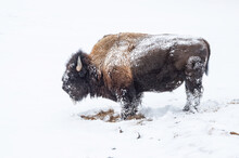 Snow Covered Bison (Bison Bison), Yellowstone National Park, UNESCO World Heritage Site, Wyoming, United States Of America, North America