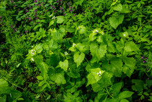 A Wild Garlic Mustard Plant Alliaria Petiolata In Blooms