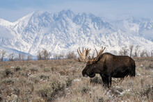 Bull Moose (Alces Alces), Standing In Front Of Teton Range, Grand Teton National Park, Wyoming, United States Of America, North America
