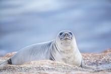 Southern Elephant Seal (Mirounga Leonina) Female Resting On A Sandy Beach, Sea Lion Island, Falkland Islands, South America