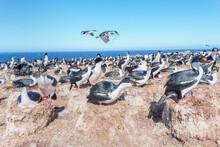 Imperial Shags (Leucocarbo Atriceps) Colony, Sea Lion Island, Falkland Islands, South America