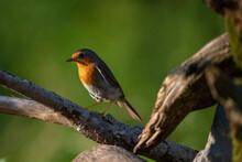 European Robin (Erithacus Rubecula), Notranjska Forest, Slovenia, Europe