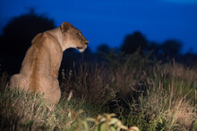 A Lioness (Panthera Leo) Illuminated At Night, Rests On A Termite Mound, Tsavo, Kenya, East Africa, Africa