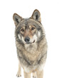 portrait of gray wolf with snowflakes on wool isolated on white background