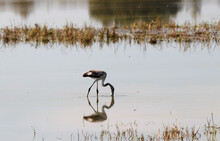 Flamingo Looks For Food In The Pond.