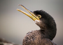A Cormorant Bird With A Yellow Bill On A Grey Background