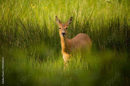 Carta da parati A female Roe Deer stood in long grass
