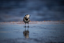 A Pied Wagtail Bird Stood In A Puddle