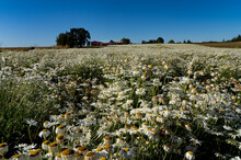 A Field Of Shasta Daisies On A Farm With A Red Barn In The Background, Near Silverton, Oregon