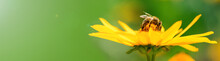 Bee And Flower. Banner. Close Up Of A  Striped Bee Collecting Pollen On A Yellow Flower On A Sunny Bright Day. A Bee Collects Honey From A Flower. Summer And Spring Backgrounds