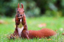 Red Squirrel On Green Grass Eating Nut And Staring. Cute Eurasian Red Squirrel (Sciurus Vulgaris) Standing On Its Feet On Green Grass With Blurred Out Of Focus Background On Sunny Summer Day.