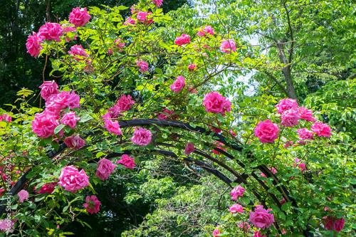 Vászonkép arbor of pink roses, USA