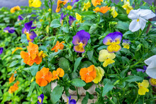 Pansies With Morning Dew, USA