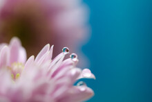 Soft Pink Pastel And Delicate  Gerbera Flower Petals With Water Drops Refraction Macro Relaxing Abstract Blue Background With Selective Focus And Blurs, Spring Freshness Joy And Hope Concept