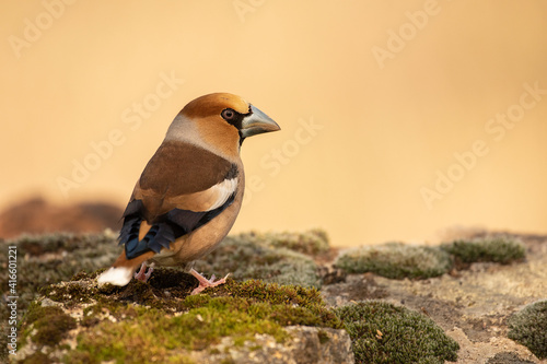 Obraz na plátne hawfinch posed with unfocused backgrounds