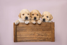 3 Little Puppies Sit In A Wooden Box On The Background