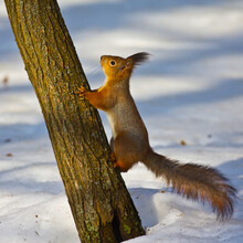 A Squirrel Climbs A Tree. The Squirrel Feels Safe On The Tree.
