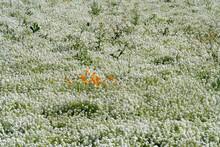 A Field Of White Alyssum With A Few California Poppies Near Silverton, Oregon.