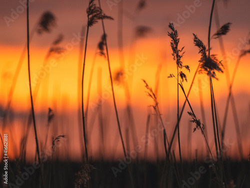 Fotografie, Obraz Silhouettes of reeds at beautiful sunset