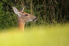 White-tailed Deer.