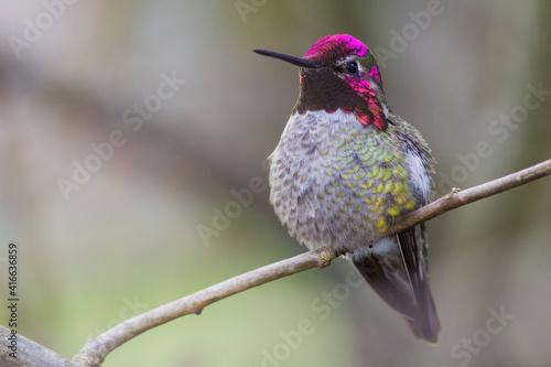Fototapeta premium Anna's hummingbird