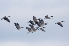 Greater Canada Geese Flying