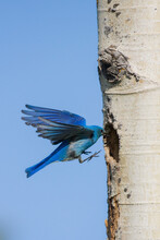 Mountain Bluebird Flying Into Nest