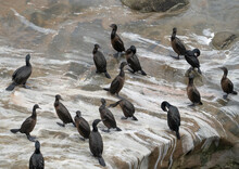 A Flock Of Cormorants Resting On A Rock At Depoe Bay Oregon.