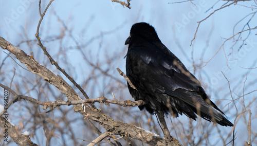 Fototapeta premium Close Up Raven