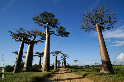 Foto Grandidier's baobab trees along the Avenue des Baobabs, Morondava, Madagascar