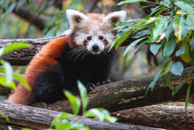 Cute Fluffy Red Panda Cub On The Tree. Young Lesser Panda Or Firefox (Ailurus Fulgens) On The Thick Branch Among Green Foliage.