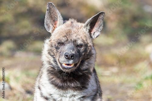 Fotografie, Obraz Close-up portrait of the striped hyena