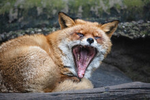 Fluffy Red Fox Yawning. Old Fox (Vulpes Vulpes) With Dense Reddish-rusty Fur Lying On The Ground With Open Mouth.
