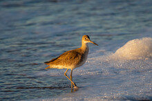 Willet Pointed To Right, Looking Towards Camera