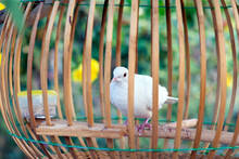 White Dove Stood On Small Log In Wooden Cage.