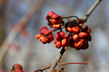 Close-up Of Euonymus Europaeus Pink And Orange Fruits. Euonymus Europaeus Tree Also Called Spindle Tree Or Winter Creeper On Winter Season