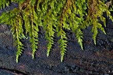 Tamarisken-Thujamoos Thuidium Tamariscinum Moos Makro Nahaufnahme Baum Stamm Totholz Kontrast Grün Details Leuchtkraft Natur Wald Sauerland Deutschland Ästhetik Schönheit Perspektive Thuja Lebensbaum