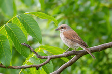 Red-backed Shrike, Lanius Collurio. A Female Bird Sits On A Branch Of A Walnut Tree Among The Leaves