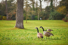 Couple Of Canada Geese On The Grass In Park Bagatelle, Paris, France