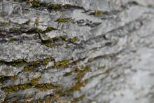 écorce D'arbre Tilleul En Gros Plan
