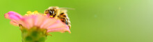 Bee And Flower. Banner. Close Up Of A  Striped Bee Collecting Pollen On A Pink Flower On A Sunny Bright Day On A Green Background. A Bee Collects Honey. Summer And Spring Backgrounds.