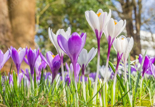 Fototapety, obrazy: Green, purple and white colors of crocus spring flowers, Netherlands