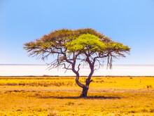 Umbrella Acacia Tree In Savanna