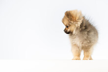 White Space With Fluffy Small Pomchi Dog On The Right Looking To The Left