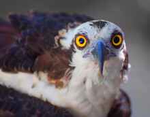 Close Up Of An Osprey With Big Yellow Eyes